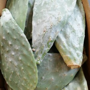 Prickly Pear Cactus Leaves